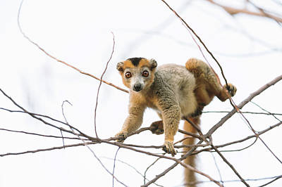 Lemur Photograph - Crowned Lemur Male by Dr P. Marazzi