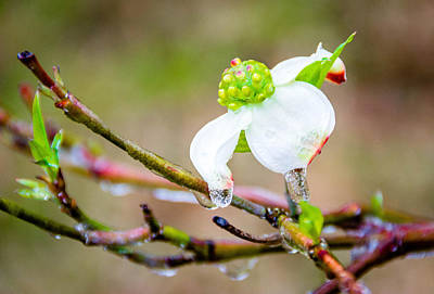 Photograph - Cruel Winter For A Dogwood Flower by Shey Stitt