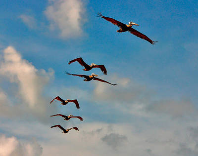 Photograph - Cruising Pelicans. Melbourne Shores. by Chris  Kusik