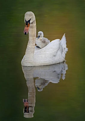Swan Photograph - Cruising With Mom by Susan Candelario