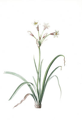 Lively Drawing - Crytanthus Vittatus, Cyrtanthe Rayè, Striped Fire Lily by Artokoloro