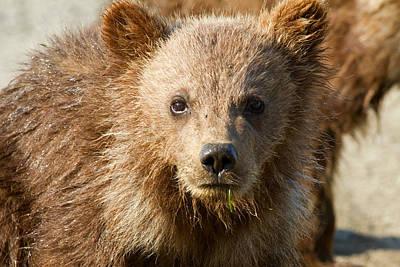 Photograph - Cub Close Up by Shari Sommerfeld