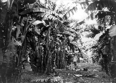 Photograph - Cuba Banana Grove, C1917 by Granger
