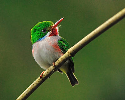 Photograph - Cuban Tody by Tony Beck