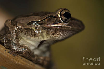 Photograph - Cuban Treefrog by Meg Rousher
