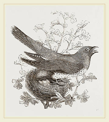 Cuckoo Drawing - Cuckoo And Nest by Litz Collection