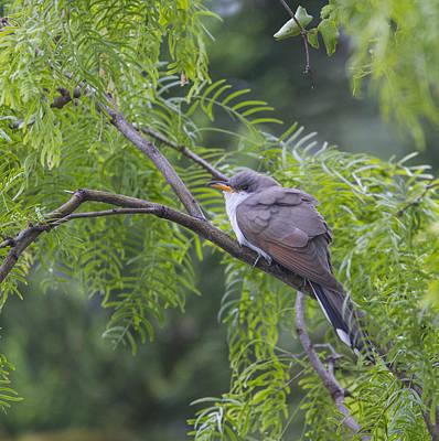 Photograph - Cuckoo by Doug Lloyd