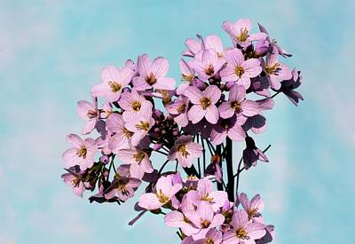 Cuckoo Wall Art - Photograph - Cuckoo Flower (cardamine Pratensis) by Brian Gadsby/science Photo Library