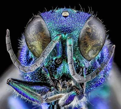 Cuckoo Photograph - Cuckoo Wasp by Us Geological Survey