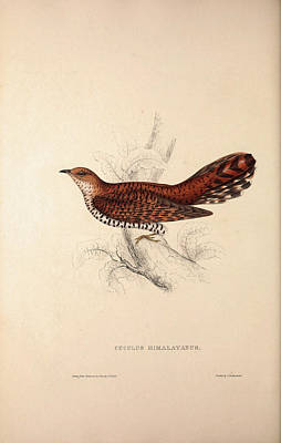 Asian Artist Drawing - Cuculus Himalayanus, Himalayan Cuckoo. Birds by Quint Lox