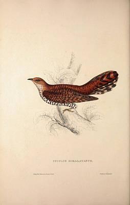 Cuculus Himalayanus, Himalayan Cuckoo. Birds Print by Quint Lox