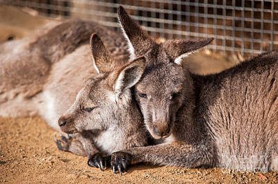 Photograph - Cuddling Kangaroos by Ray Warren