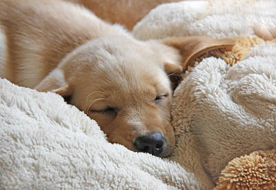 Sleeping Puppy Photograph - Cuddling Labrador Retriever Puppy by Jennie Marie Schell
