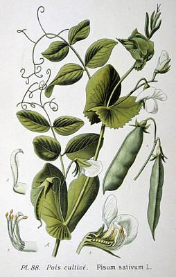 Garden Drawing - Culinary Pea Pisum Sativum by Anonymous