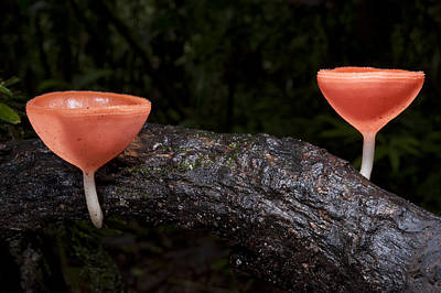 Photograph - Cup Fungus Yasuni Ecuador by Pete  Oxford