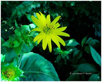 Photograph - Cup Plant Beauty by Kendall Kessler