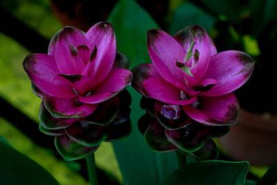 Photograph - Curcuma Angustifolia Singapore Flower by Donald Chen