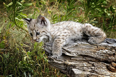 Bobcat Kitten Photograph - Curiosity by Elaine Haberland