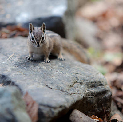 Chipmunk Photograph - Curious by Aaron Aldrich