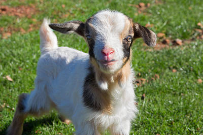 Ranch Life Photograph - Curious Baby Goat by Kathleen Bishop