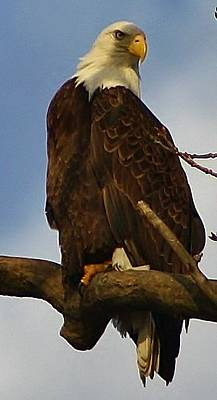Photograph - Curious Bald Eagle by Bruce Bley