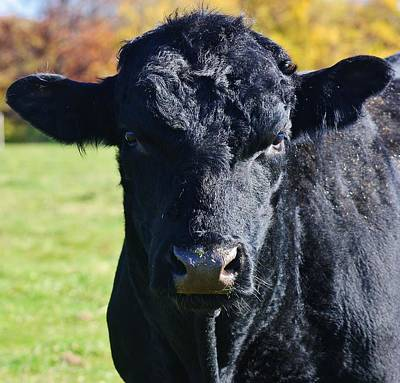 Photograph - Curious Black Angus by Bruce Bley