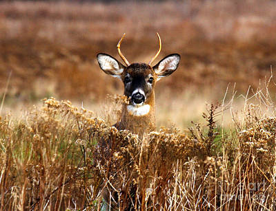Photograph - Curious Buck by Butch Lombardi