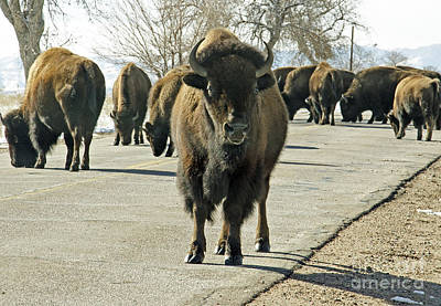 Photograph - Curious Buffalo by Kelly Black
