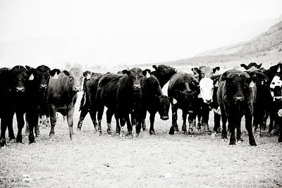 Photograph - Curious Cattle by Crystal Cox