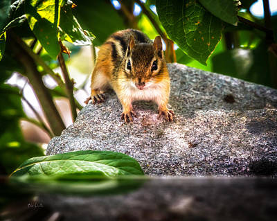 Framed Inspirational Wildlife Photograph - Curious Chipmunk  by Bob Orsillo