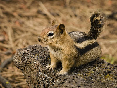 Photograph - Curious Chipmunk by Jean Noren