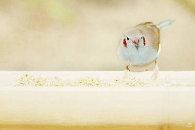 Art Print featuring the photograph Curious Cordon Bleu Finch  by Lisa Knechtel