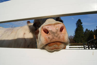 Photograph - Curious Cow Girl by Margie Avellino