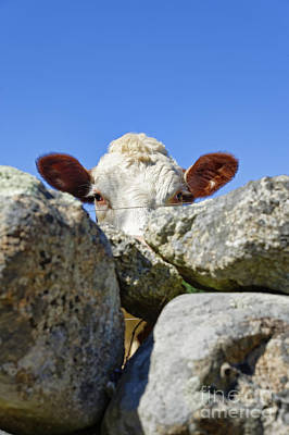 Fieldstone Photograph - Curious Cow by John Greim
