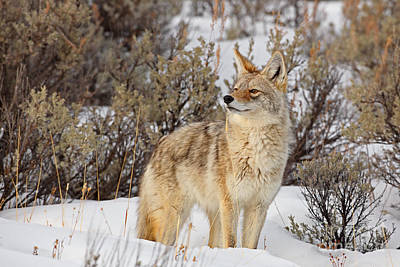 Photograph - Curious Coyote by Bill Singleton