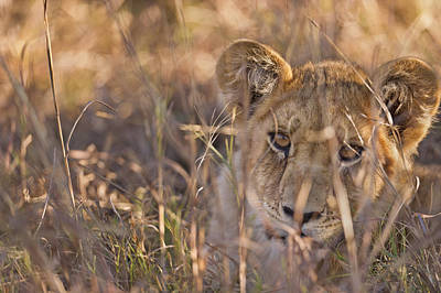 Photograph - Curious Cub by Richard Berry