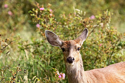 Photograph - Curious Deer And Wild Roses by Peggy Collins