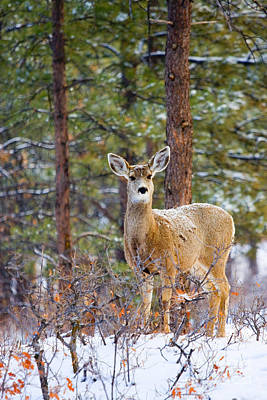 Steven Krull Royalty-Free and Rights-Managed Images - Curious Doe in Snow by Steven Krull