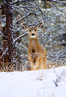 Steven Krull Royalty-Free and Rights-Managed Images - Curious Doe in the Snowy Woods by Steven Krull