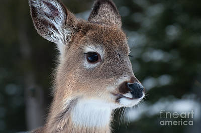 Art Print featuring the photograph Curious Fawn by Bianca Nadeau