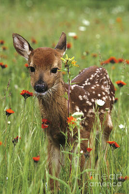 Photograph - Curious Fawn by Chris Scroggins