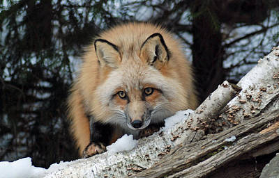 Photograph - Curious Fox by Richard Bryce and Family