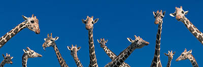 Curious Giraffes Concept Kenya Africa Art Print by Panoramic Images