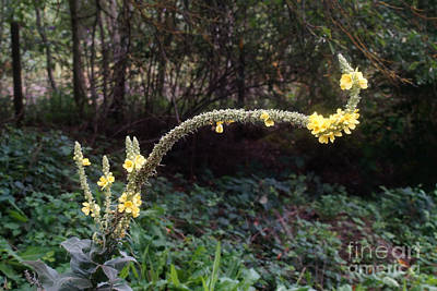 Photograph - Curious Grown Yellow Mullein by Rudi Prott