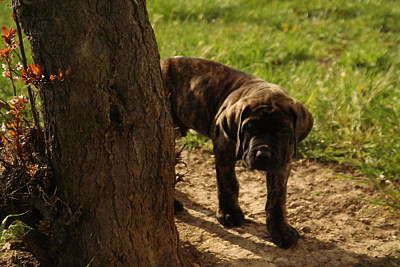 Brindle Photograph - Curious by Jeff Swan