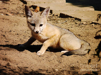 Photograph - Curious Kit Fox by Meghan at FireBonnet Art