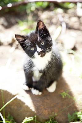 Photograph - Curious Kitten by Crystal Cox