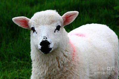 Curious Lamb Art Print by Aidan Moran
