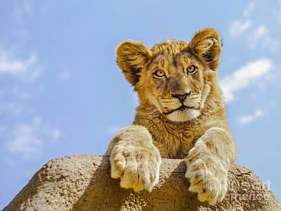 Lion Photograph - Curious Lion Cub by Diane Diederich