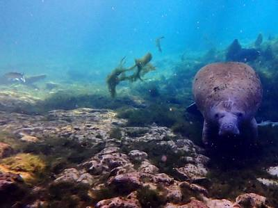 Photograph - Curious Manatee 2 by Sheri McLeroy